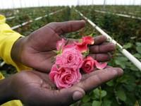 Khám phá nghề sản xuất hoa truyền thống của Lebanon