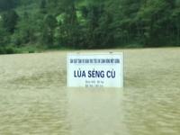 Mưa lớn ở Lào Cai: 30 ngôi nhà bị hư hỏng, lúa và hoa màu ngập úng