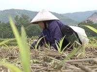 Hơn 1.000 ha cây vụ Đông ở Chương Mỹ, Hà Nội thiệt hại do mưa lũ