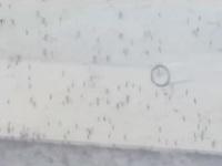 Sẽ thả muỗi vằn mang Wolbachia tại Khánh Hòa