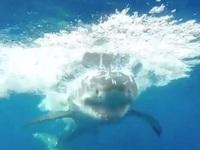 Cá mập trắng hung hăng phá lồng, thợ lặn được phen thót tim