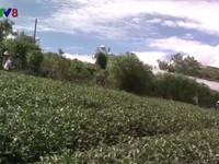 Nhiều nông dân Lâm Đồng chặt bỏ cây chè