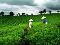 Sản xuất chè hữu cơ từ đất khô cằn ở Cao Bằng