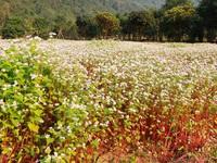 """Ngắm vườn hoa tam giác mạch """"độc nhất vô nhị"""" ở Ninh Bình"""