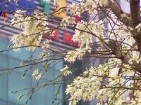 Tinh khôi mùa hoa sưa Hà Nội