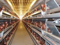 Sản xuất trứng gà công nghệ cao phục vụ xuất khẩu ở Sóc Trăng