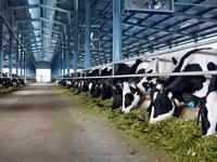 Trang trại bò sữa hữu cơ đầu tiên theo tiêu chuẩn châu Âu