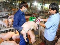 Cấp 150.000 liều vaccine lở mồm long móng tại Ninh Thuận