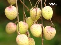Đăng ký bảo hộ nông sản Việt Nam ở nước ngoài vẫn còn hạn chế