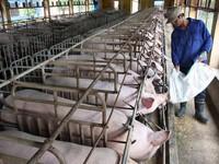 Giá thịt lợn giảm sâu, người chăn nuôi 'còng lưng' trả nợ