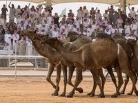 Lễ hội lạc đà - Nét văn hóa truyền thống của các quốc gia Arab