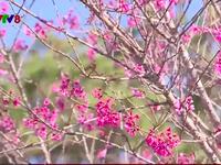 Ngày hội hoa Anh đào năm 2018 tại Đà Lạt