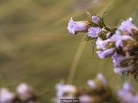 Độc đáo loài hoa chỉ nở 12 năm một lần ở Ấn Độ