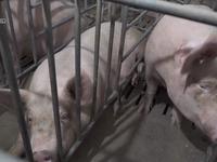 Siết chặt kiểm soát dịch tả lợn châu Phi lây lan