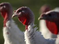 Mỹ thu hồi hơn 74 tấn thịt gà tây do lo ngại nhiễm khuẩn