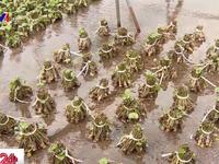 """Mô hình """"mỗi làng một sản phẩm"""" - thay đổi bộ mặt nông nghiệp Nhật Bản"""