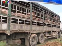 Liên tiếp bắt giữ phương tiện chở gia súc lở mồm long móng