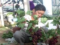 """""""Sốt"""" mốt chơi nho kiểng tại Ninh Thuận"""