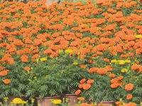 Rực rỡ làng hoa vạn thọ ở Khánh Hoà