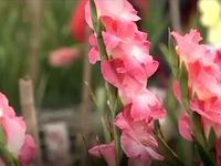 Nhiều hoa xuân lạ nhờ ứng dụng khoa học công nghệ