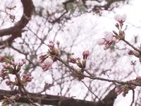 Nhật Bản bước vào mùa hoa anh đào