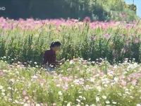 Sắc hoa Đà Lạt xưa trên cánh đồng hoa 'bước ra từ truyện cổ tích'