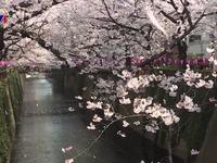 Nhật Bản ngập trong sắc hoa anh đào