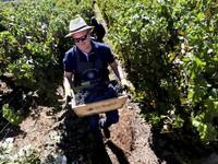 Trải nghiệm thu hoạch nho làm rượu vang ở Chile
