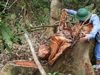 Sau pơ mu, rừng lim lại bị xẻ thịt ở Quảng Nam: Vì sao 'máu' rừng vẫn chảy?
