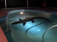 Mỹ: Cá sấu khổng lồ bất ngờ xuất hiện trong bể bơi gia đình