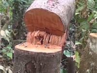 UBND tỉnh Quảng Nam chỉ đạo các ngành chức năng khẩn cấp bảo vệ rừng