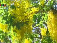 Sắc hoa vàng mùa Phật Đản
