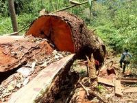 Truy nã hai lâm tặc cầm đầu vụ phá rừng lim xanh hàng trăm tuổi