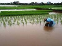 Giải pháp cứu lúa bị ngập úng do mưa bão