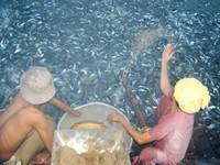 Chuỗi liên kết sản xuất cá tra: Từ vui mừng đến thất vọng