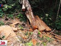 Hà Giang: Ngang nhiên tàn phá rừng tự nhiên