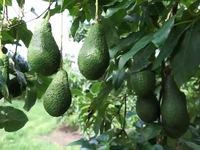 Tiềm năng phát triển cây bơ ở Việt Nam