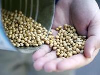 Nông dân Brazil đổ xô trồng đậu tương bán cho Trung Quốc