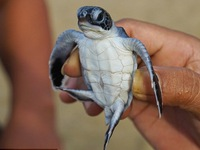 Rác thải nhựa đang giết chết 40#phantram rùa biển non