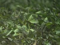 Nông dân trồng đậu tương tại Mỹ lao đao vì chiến tranh thương mại