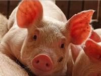 Nguy cơ đứt đoạn cung cầu thịt lợn tại Trung Quốc