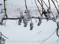 Sản xuất rượu vang từ nho... đông lạnh tại Mỹ