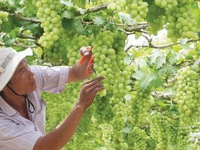Ninh Thuan Grape and Wine Festival 2019 to take place in late April
