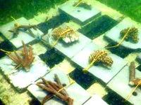 Ấn Độ cấy ghép để hồi sinh các rạn san hô