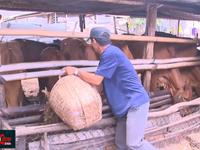 Hỗ trợ người chăn nuôi phát triển đàn bò thịt sau dịch tả lợn châu Phi