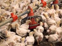Trung Quốc xem xét nhập khẩu lại sản phẩm gia cầm từ Mỹ
