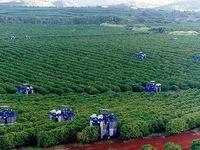 Xuất khẩu cà phê Brazil ghi nhận mức kỷ lục mới