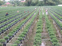 Mekong Delta farmers grow new flower varieties for Tet