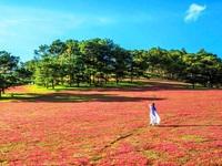 Pink grass festival opens in Da Lat