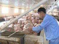 Phát triển ngành chăn nuôi theo hướng hiện đại